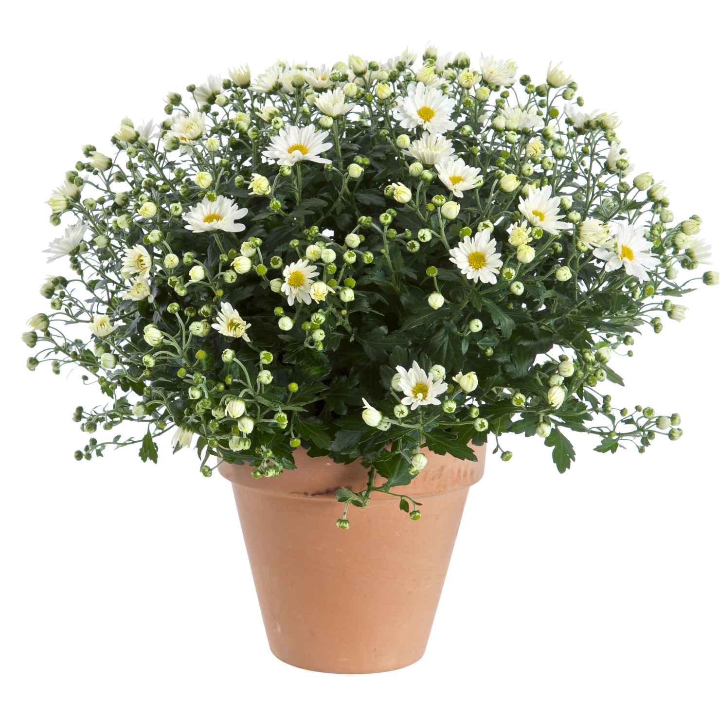 Produktbild på Bollkrysantemum, vit