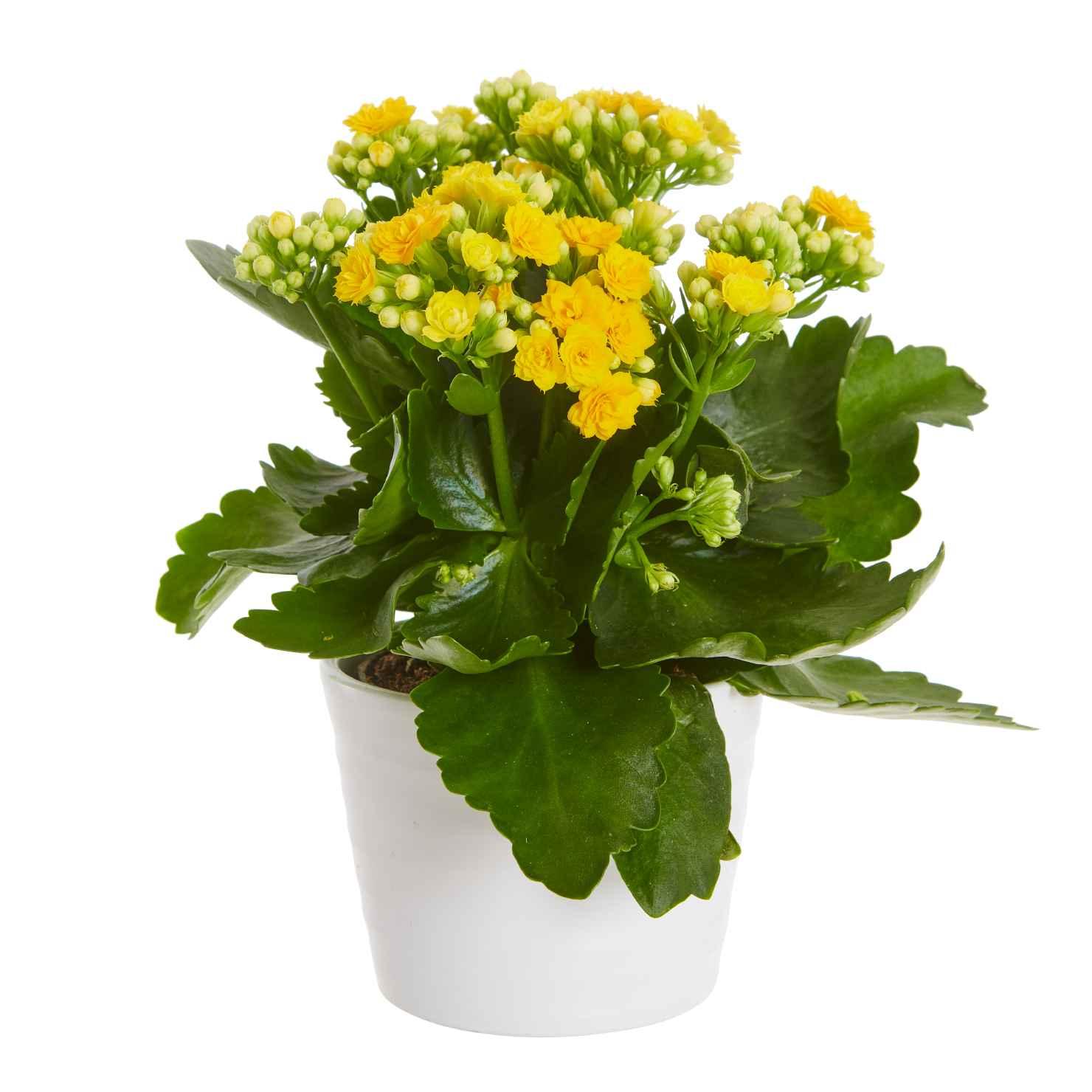 Produktbild på Våreld, gul (Calandiva)
