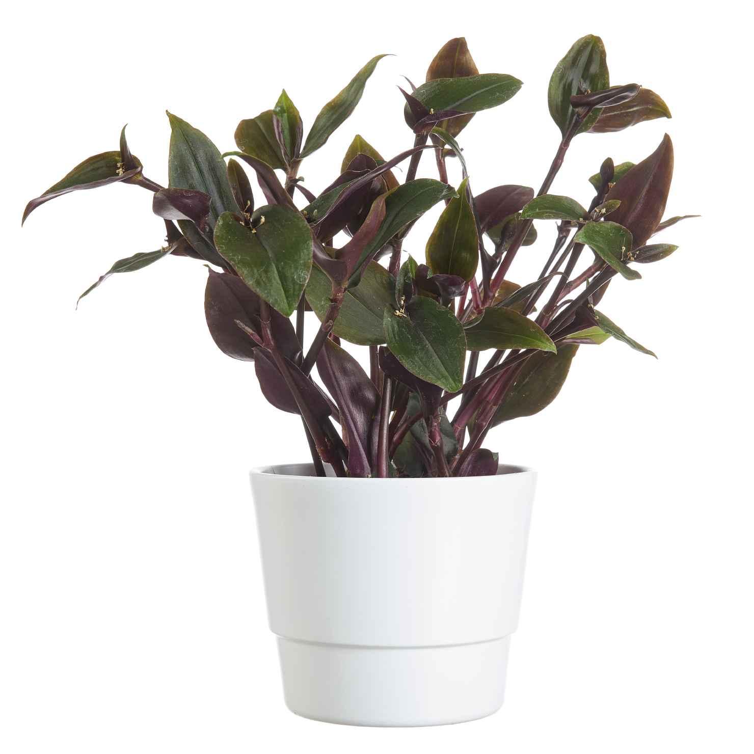 Produktbild på Blomstervagga 'Roxxo'