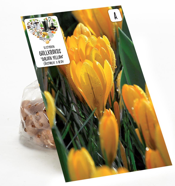 Produktbild på Gullkrokus 'Golden Yellow'