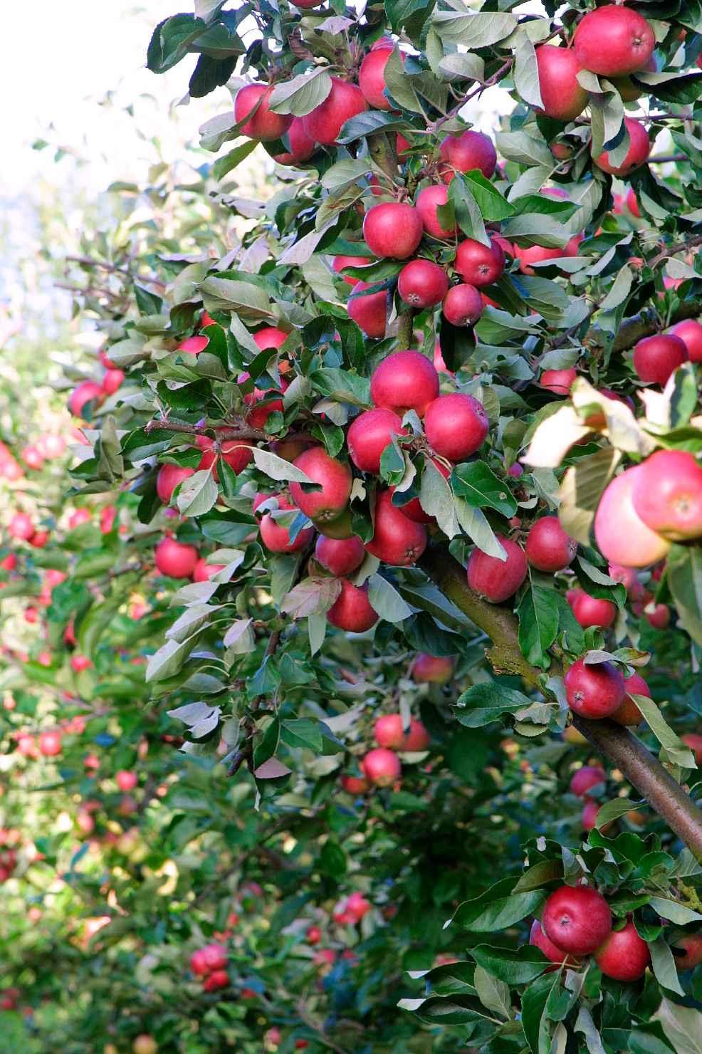 Produktbild på Äppleträd 'Rödluvan'