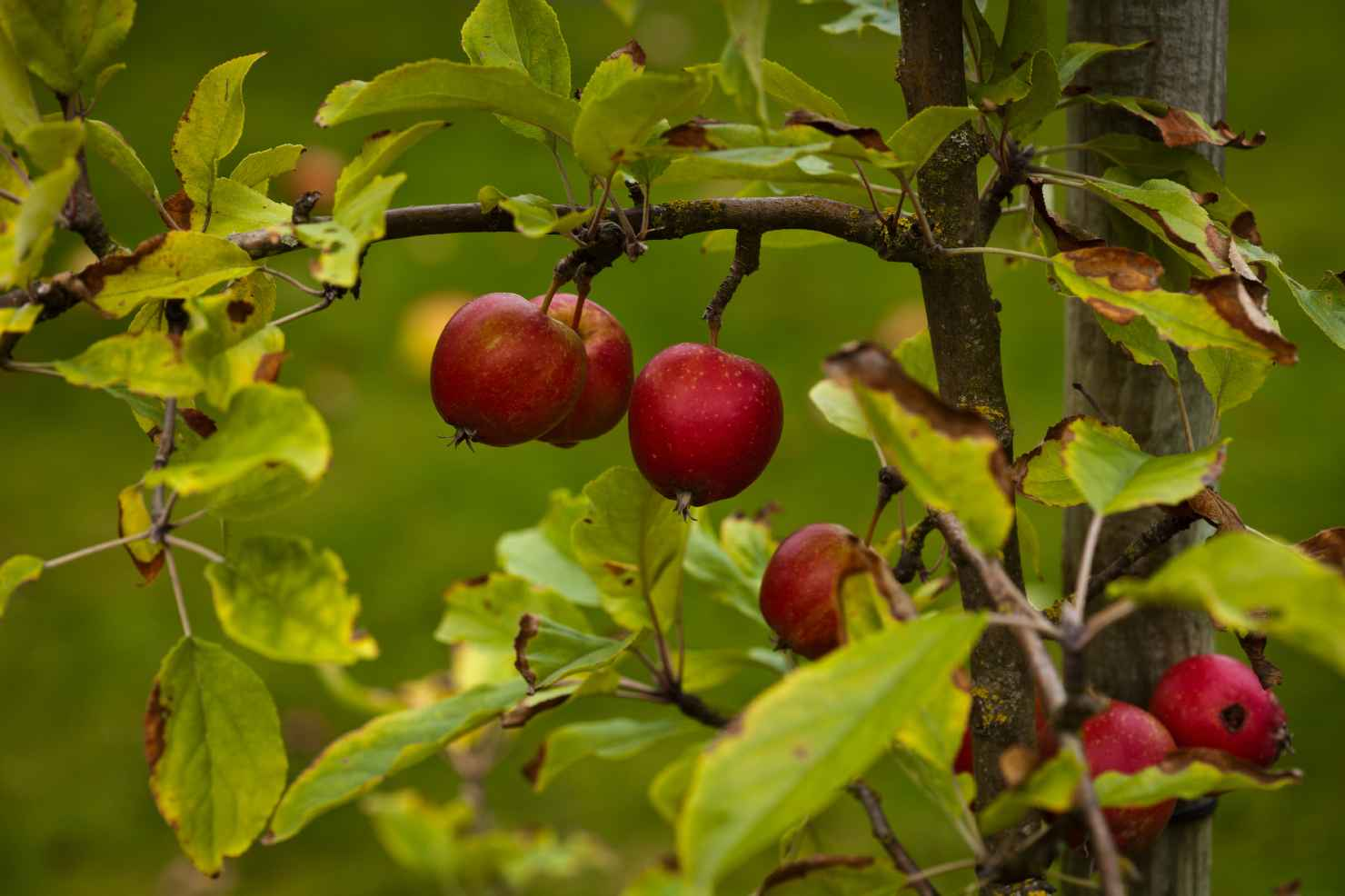 Produktbild på Äppleträd ELDRÖTT DUVÄPPLE ('Ildrød Pigeon')