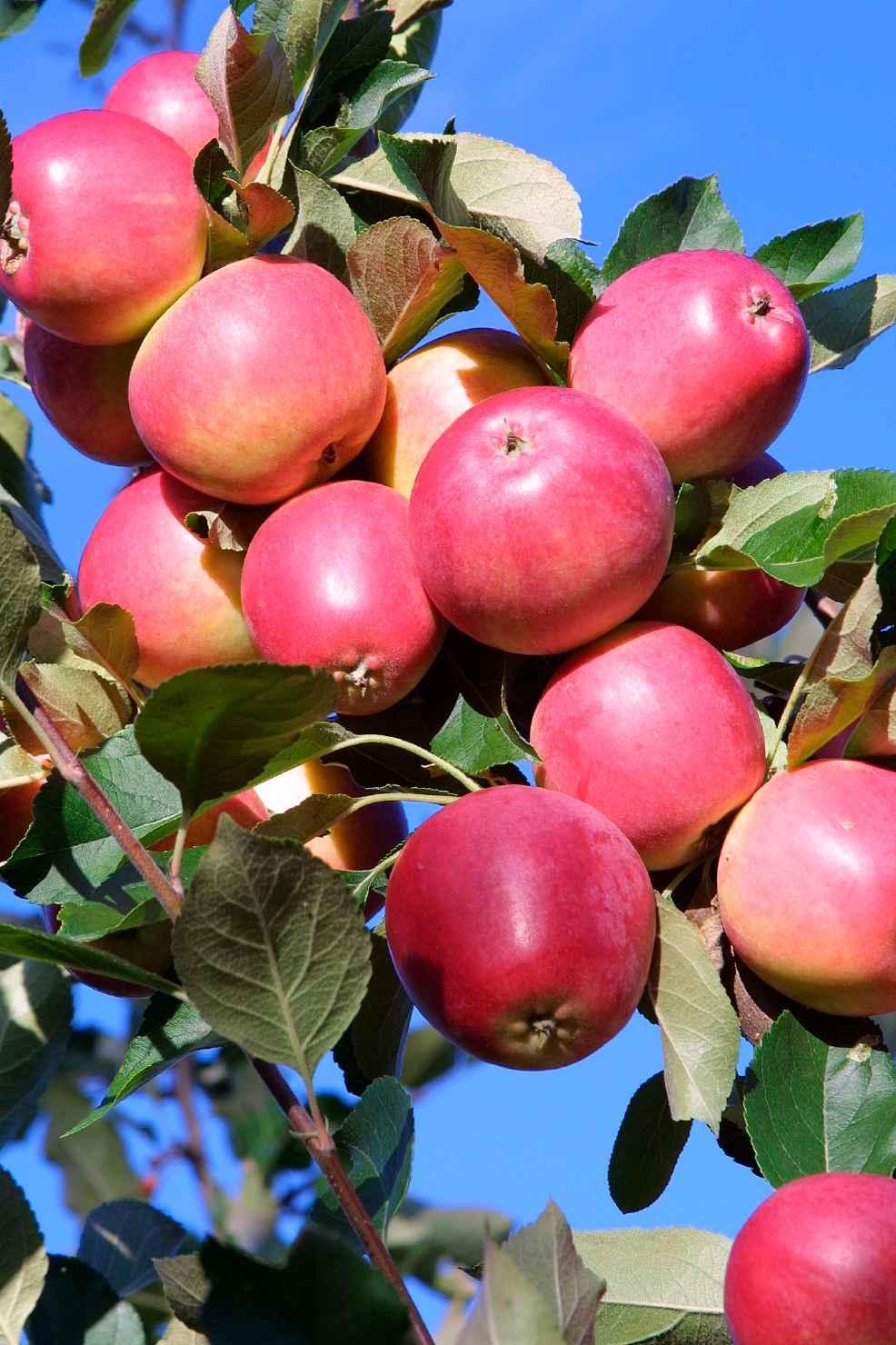 Produktbild på Äppleträd 'Katja'