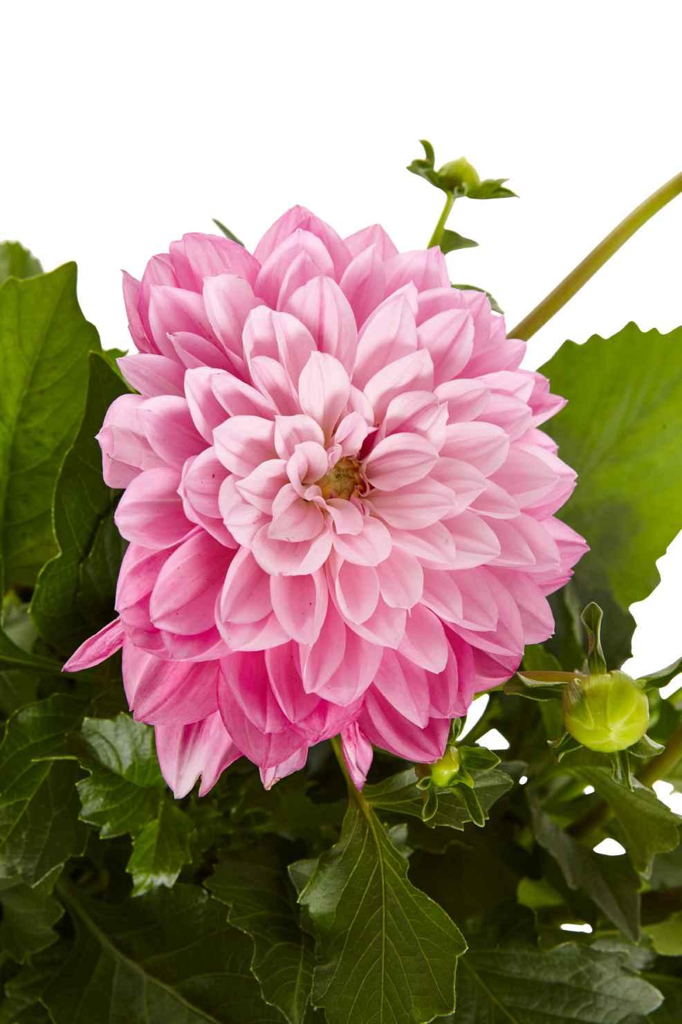 Produktbild på Dahlia rosa