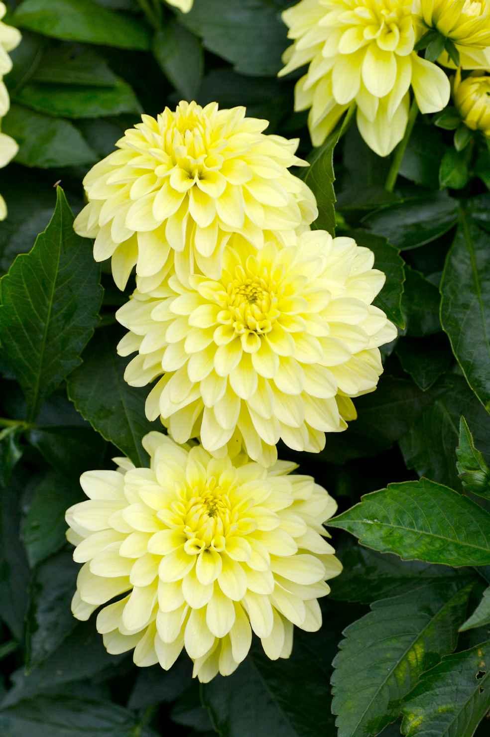 Produktbild på Dahlia, gul