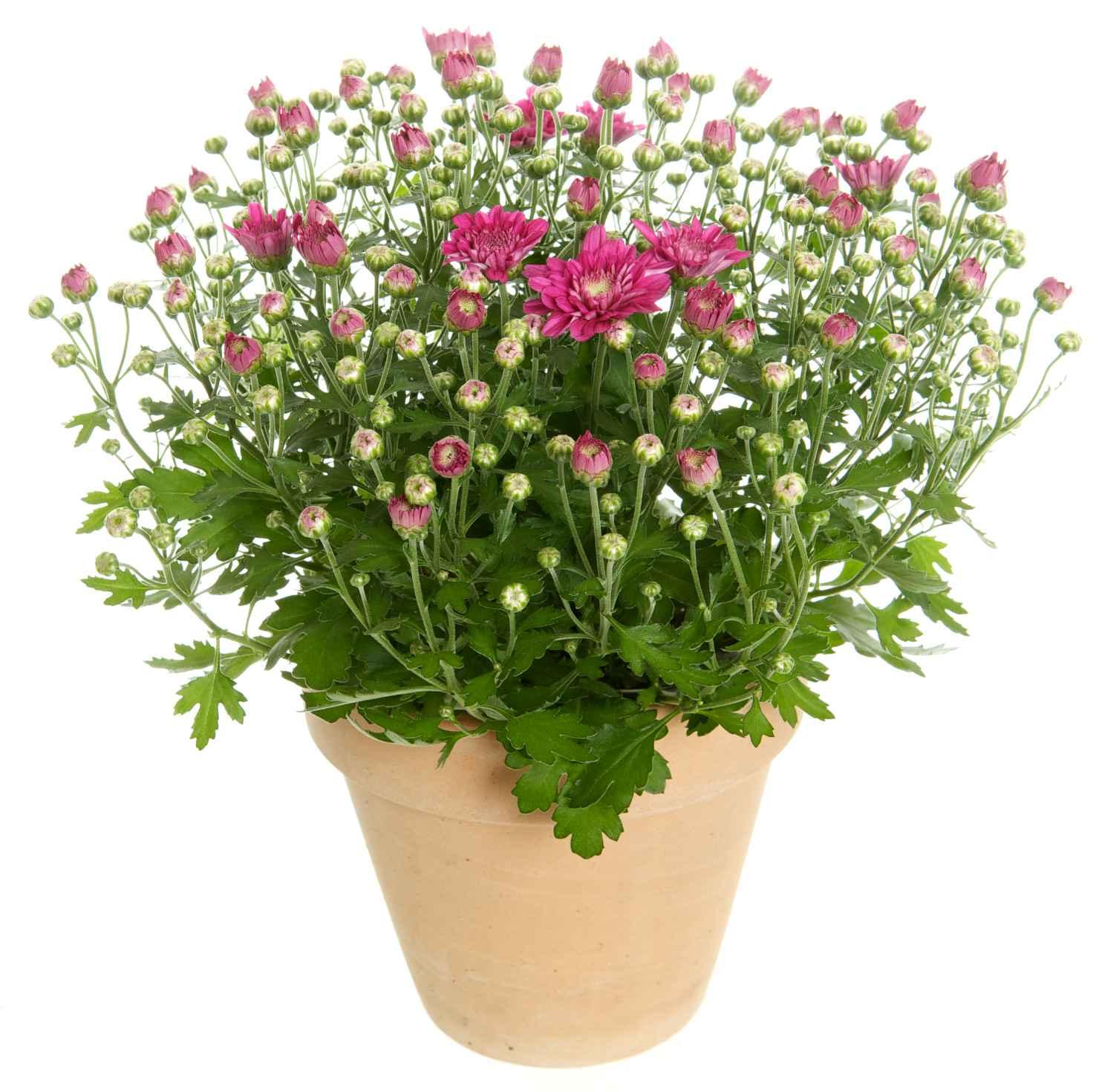 Produktbild på Bollkrysantemum, lila