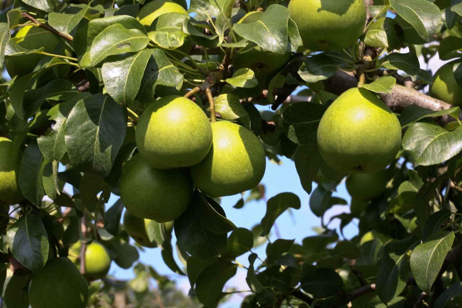 Produktbild på Päronträd 'Clara Frijs'