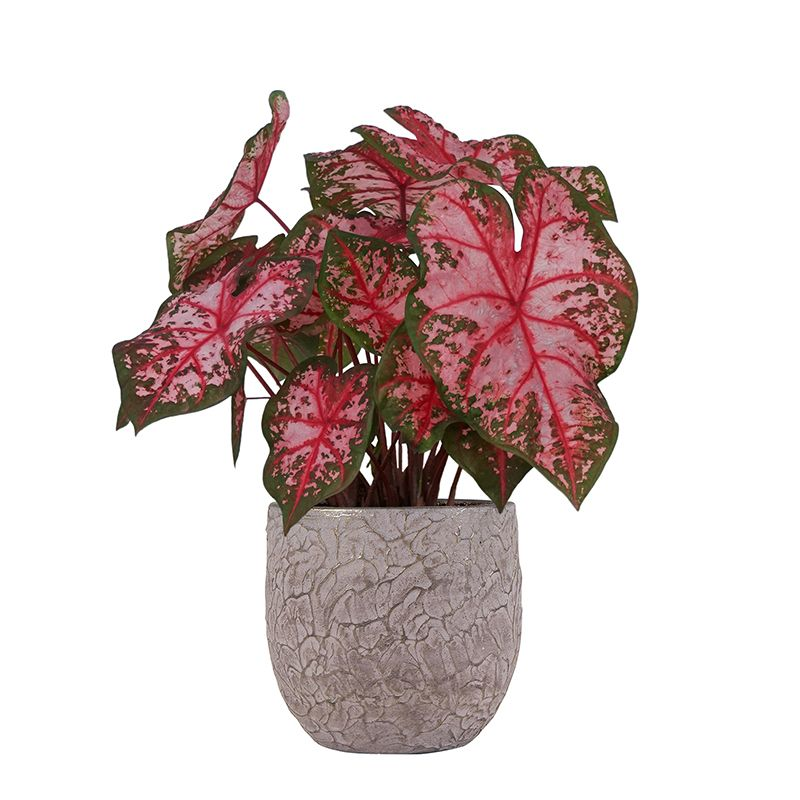 Produktbild på Kaladium bicolor 'Carolyn Whorton'