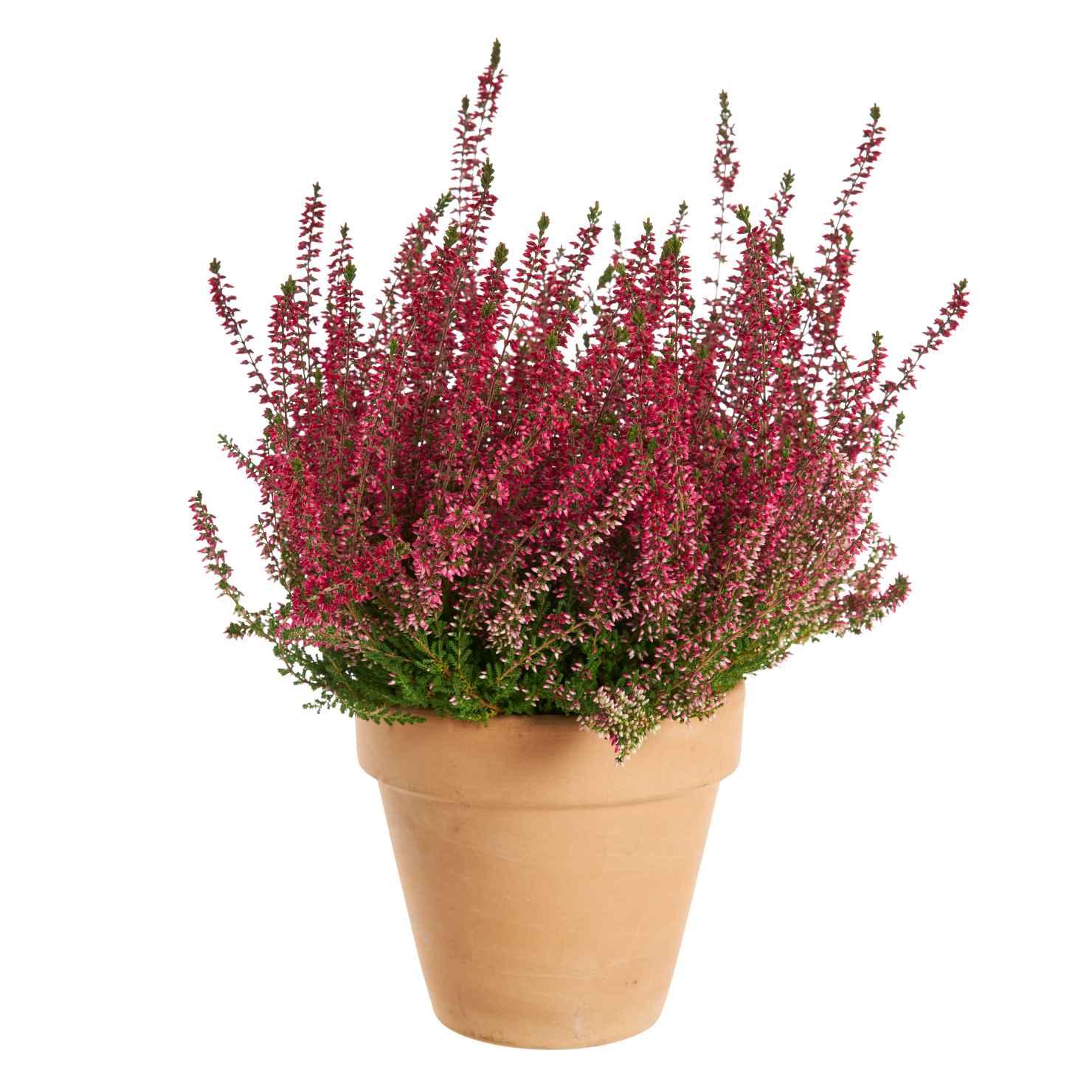 Produktbild på Knoppljung Garden Girls-serien, röd