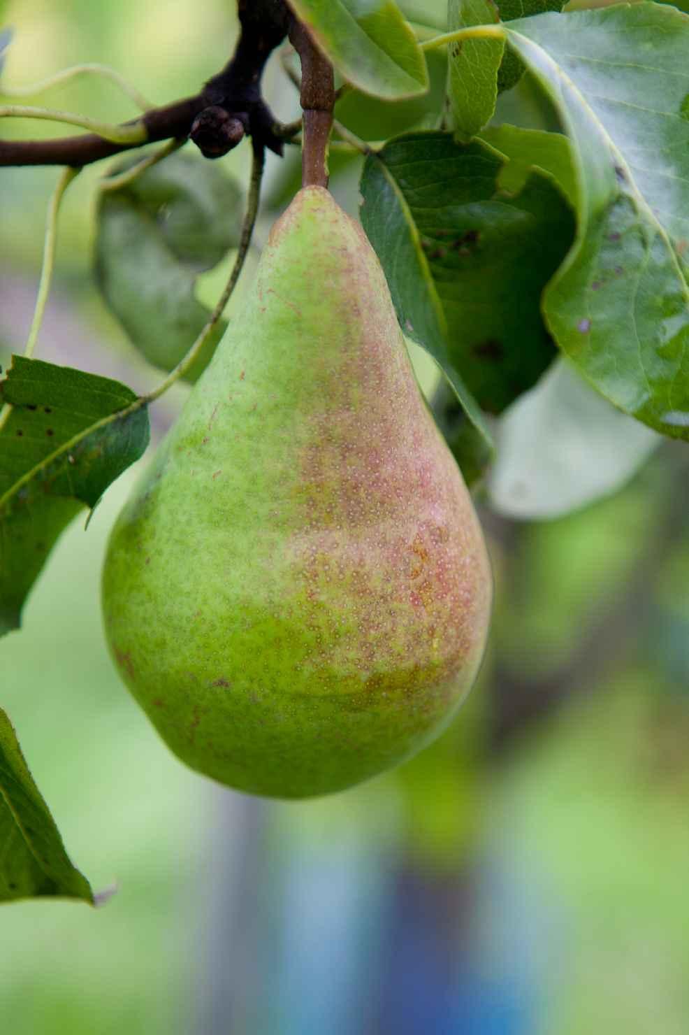 Produktbild på Päronträd