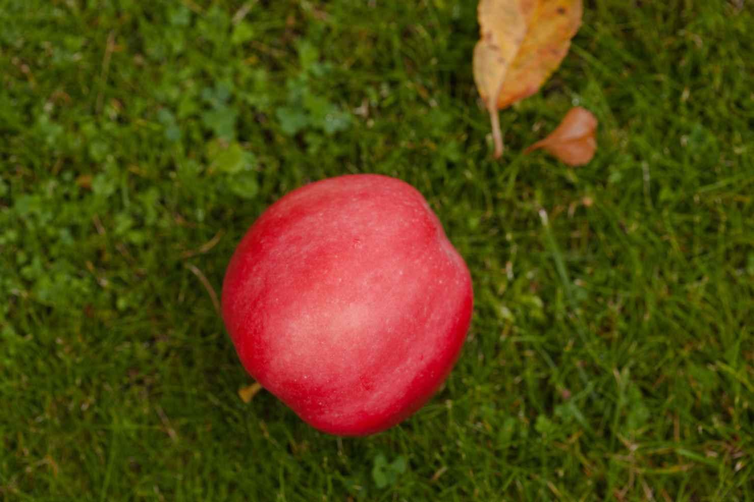 Produktbild på Äppleträd 'Mio'