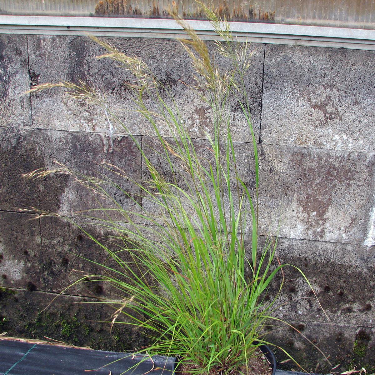 Produktbild på Silvergräs