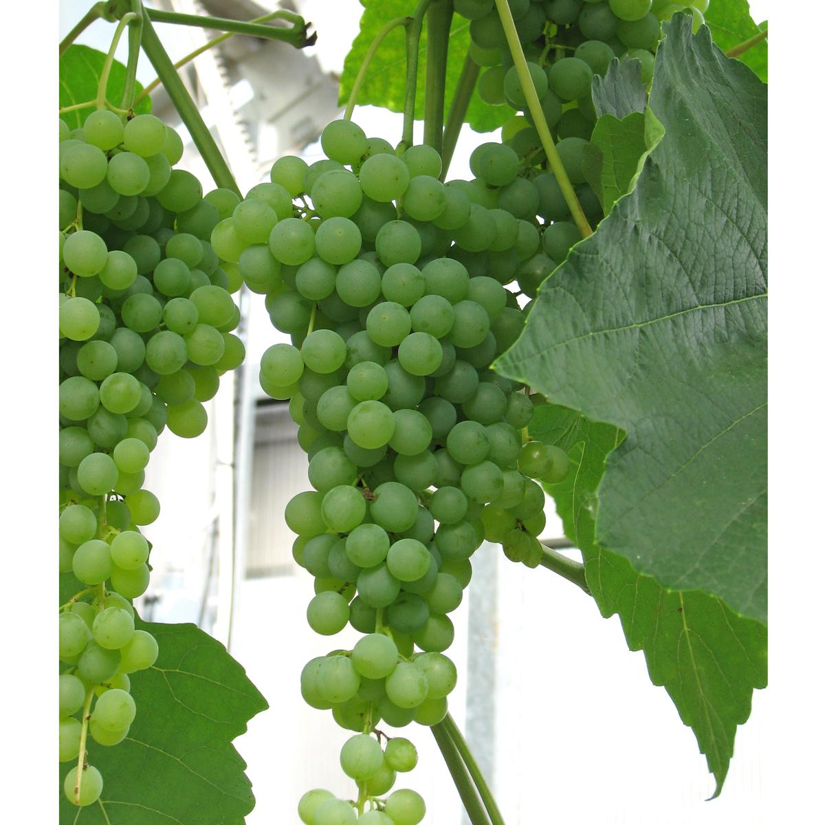 Produktbild 2 på Labruskavin