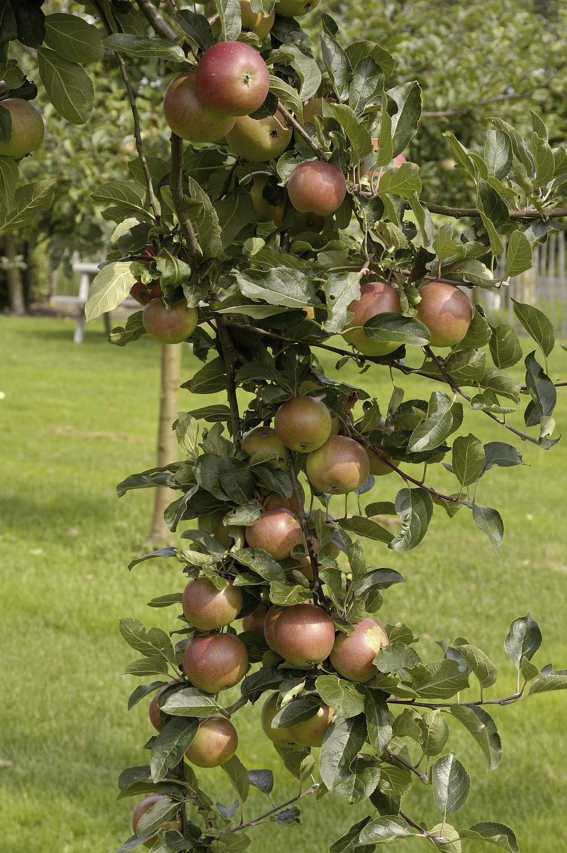 Produktbild på Äppleträd 'Cox's Orange Pippin'