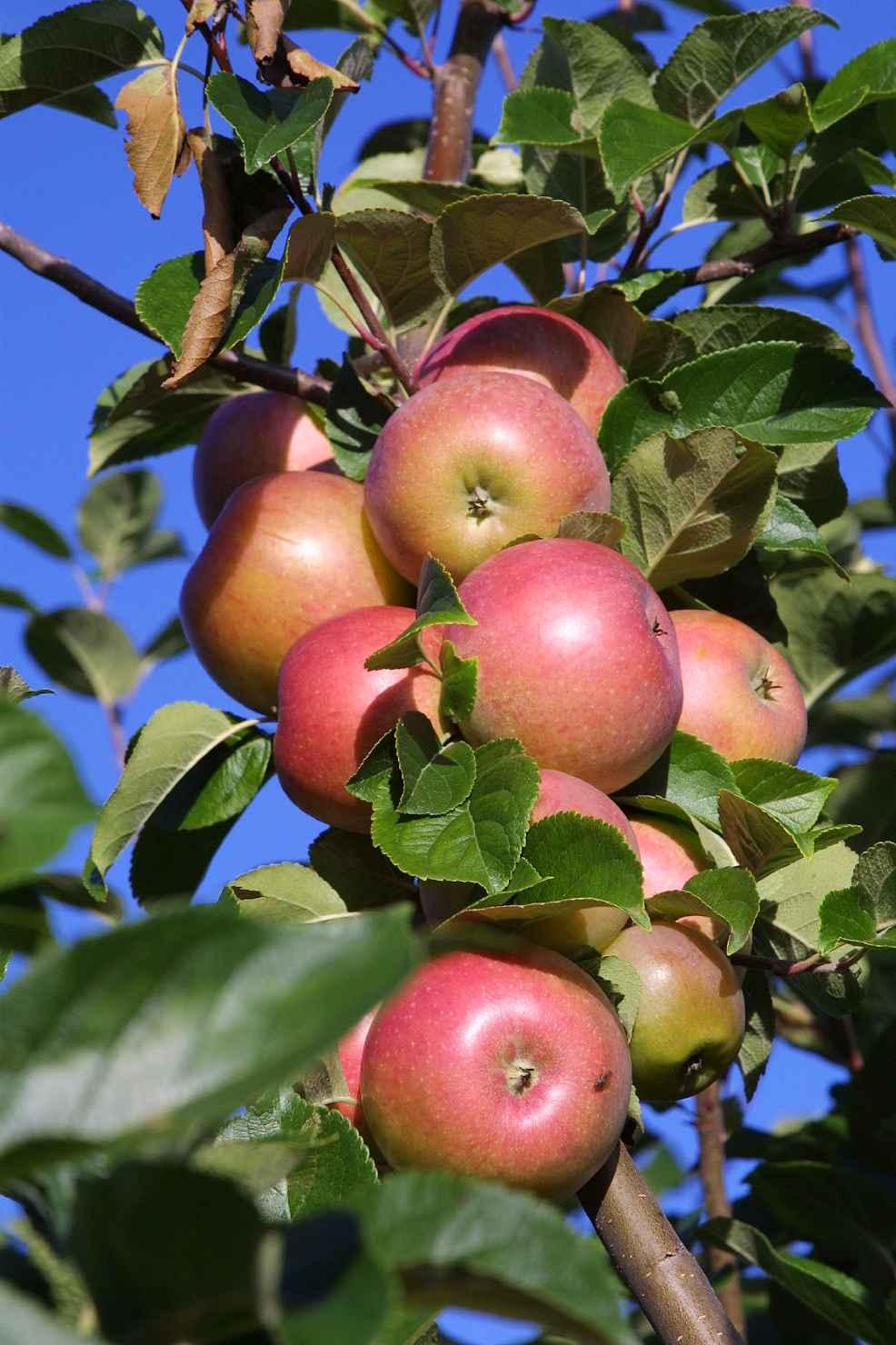 Produktbild på Äppleträd 'Aroma'