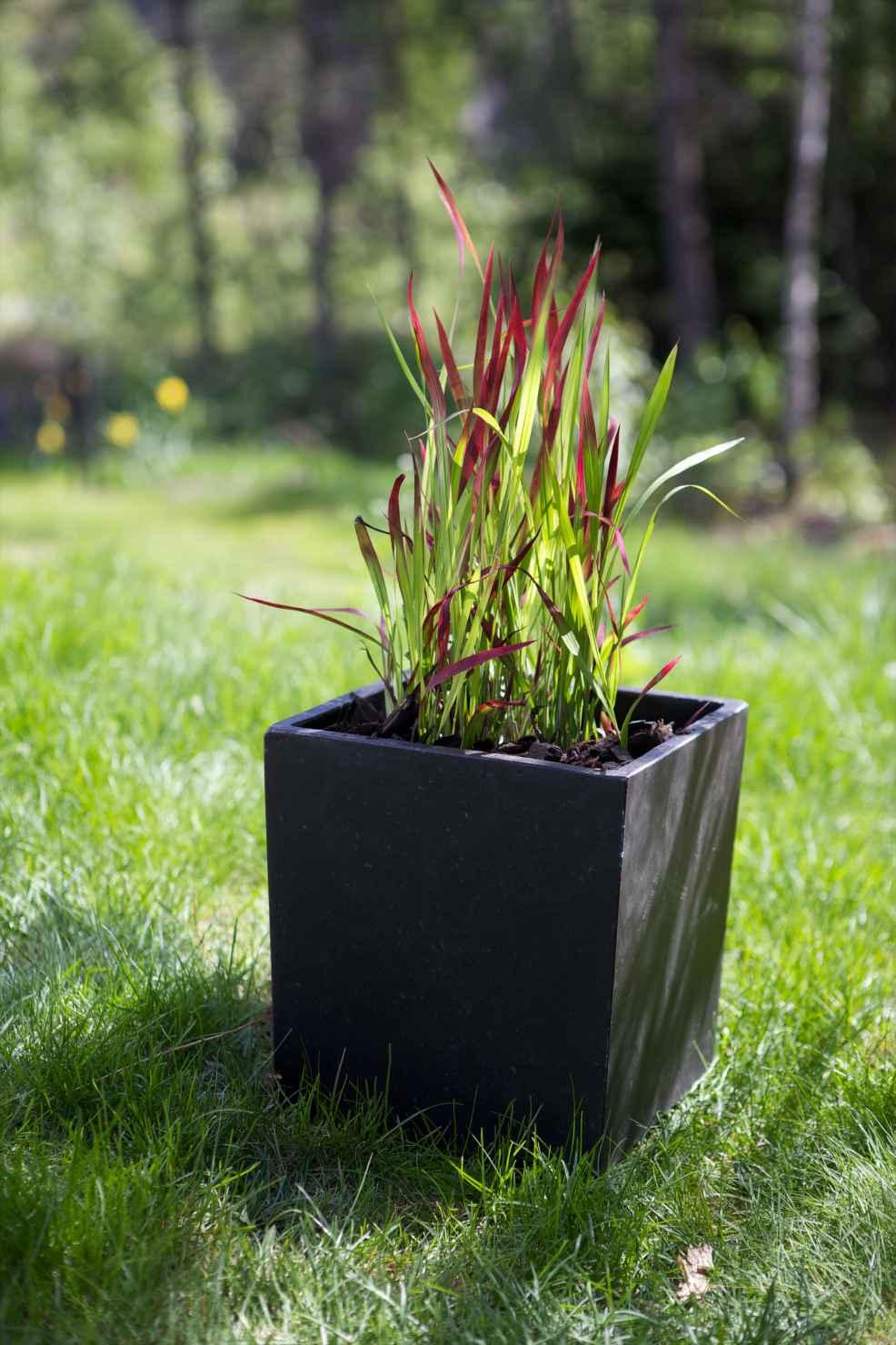 Produktbild på Blodgräs 'Rubra'