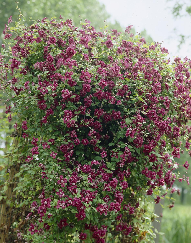 Produktbild på Viticella-klematis 'Purpurea Plena'