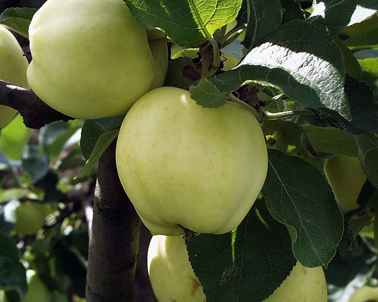 Produktbild på Äppleträd 'Transparente Blanche'