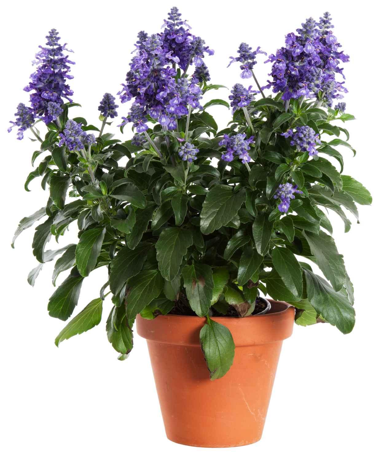 Produktbild på Salvia MYSTIC SPIRES BLUE
