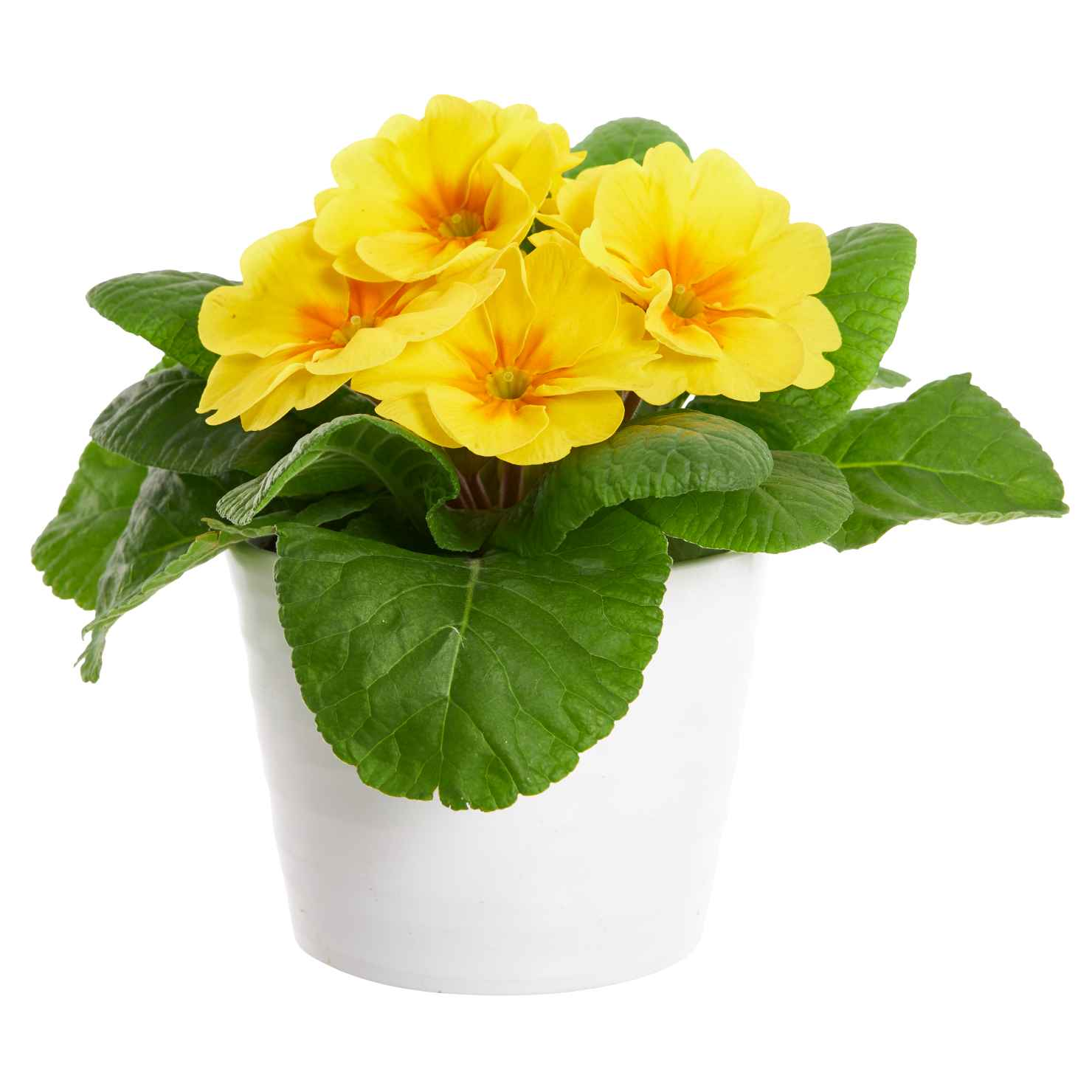 Produktbild på Jordviva, gul