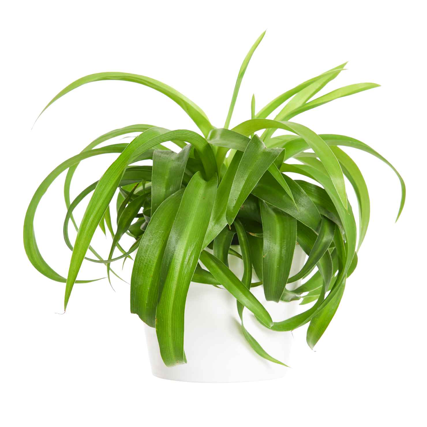 Produktbild på Ampellilja 'Bonnie', grönbladig