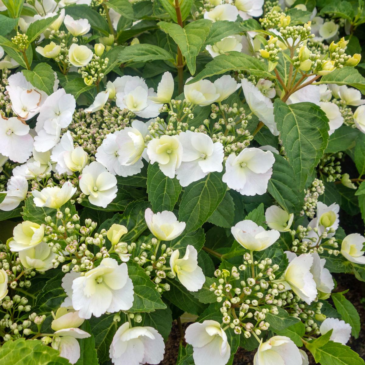 Produktbild på Hortensia RUNAWAY BRIDE SNOW WHITE ('Ushyd0405')