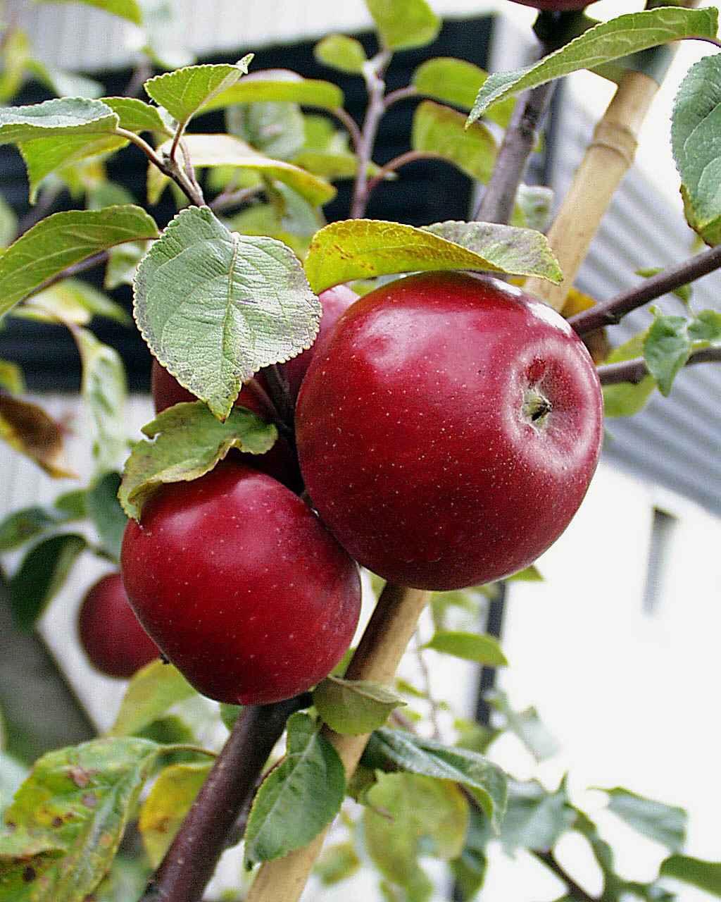 Produktbild på Äppleträd 'Amorosa'