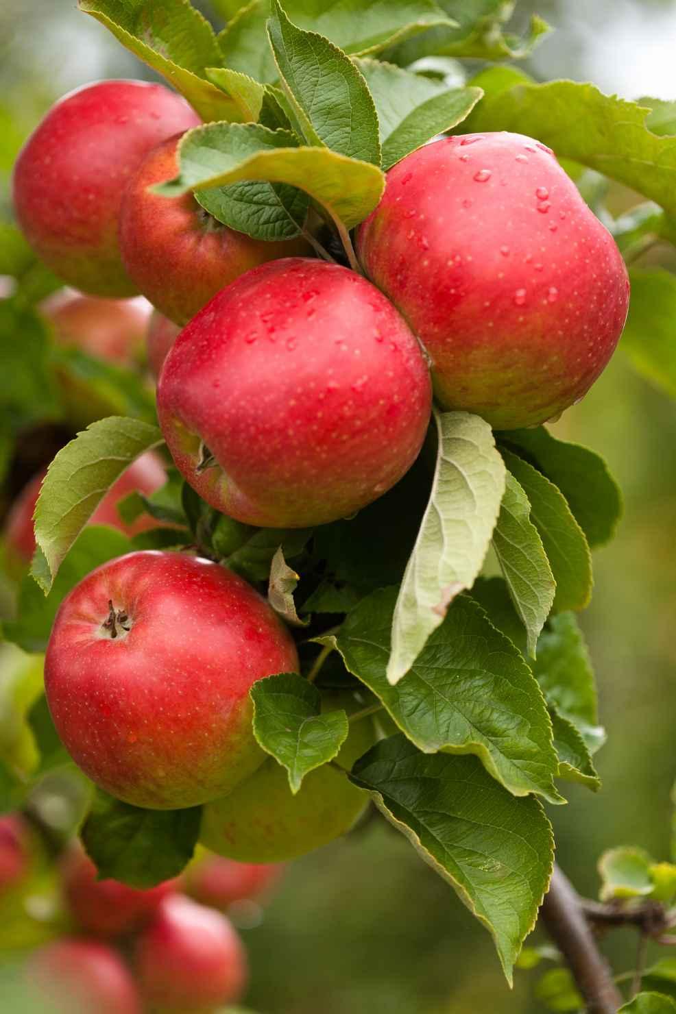 Produktbild på Äppleträd FOLKE ('SLUBGD1016')