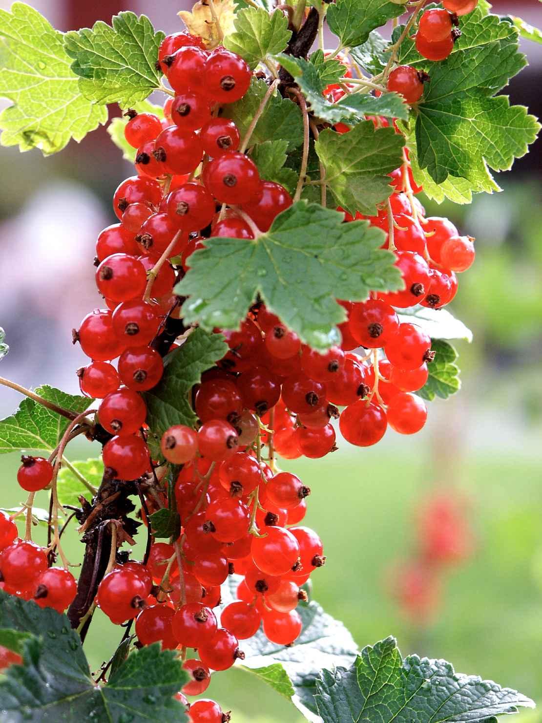 Produktbild på Röda vinbär 'Jonkheer van Tets'