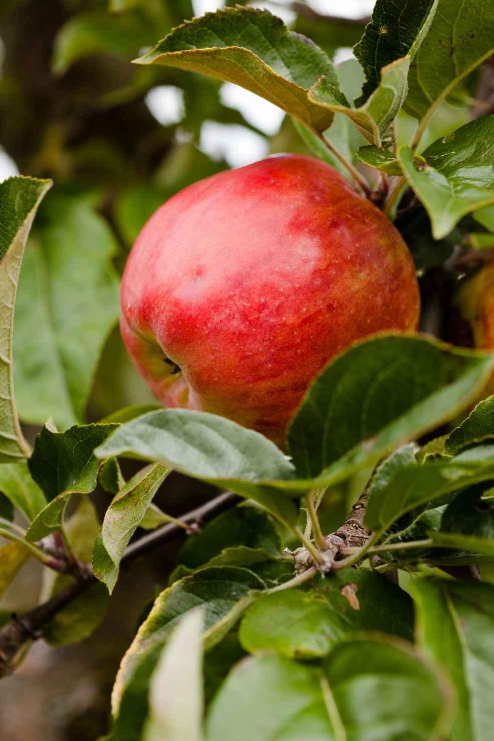 Produktbild på Äppleträd 'Gravensteiner'