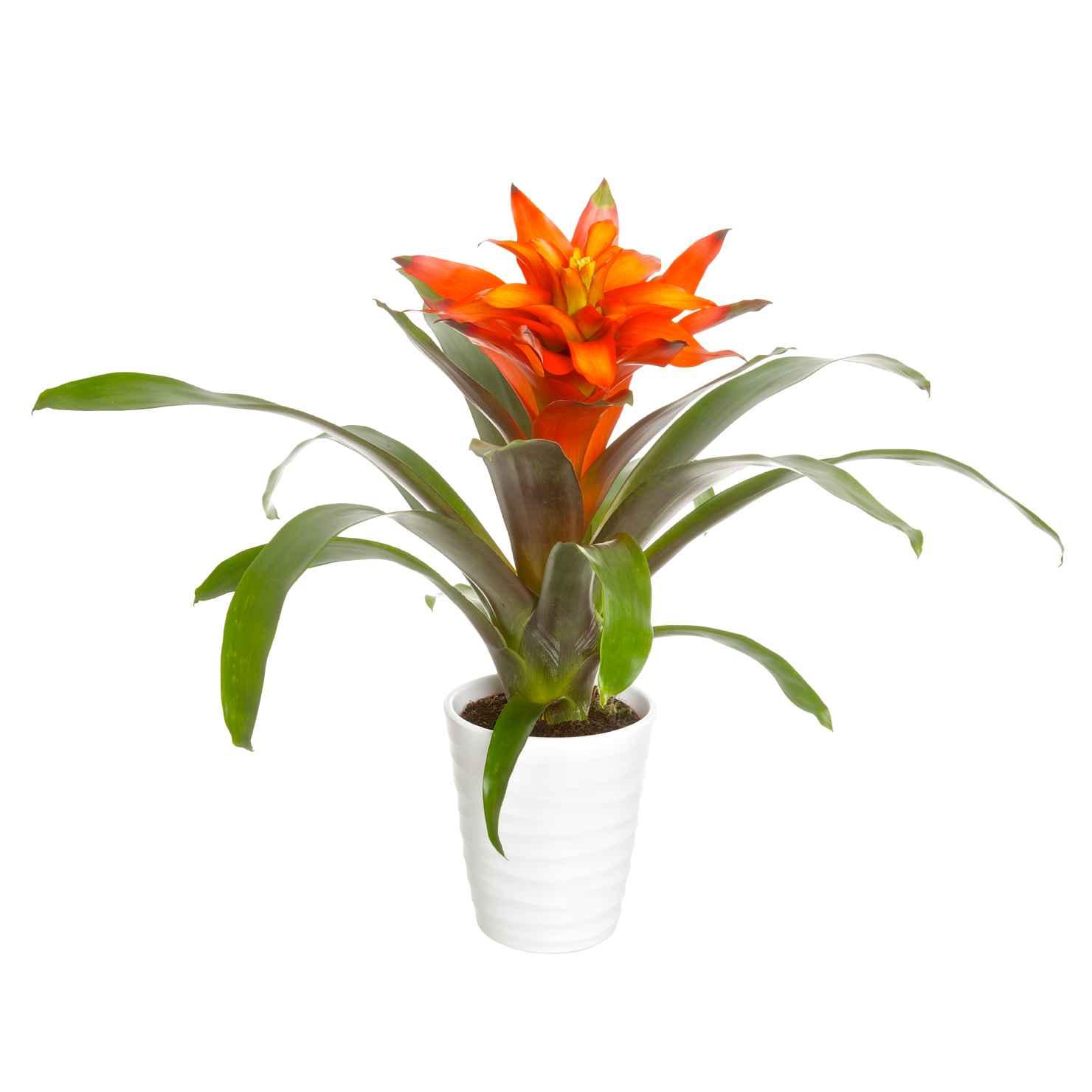 Produktbild på Juvelblomma 'Fiero' Orange
