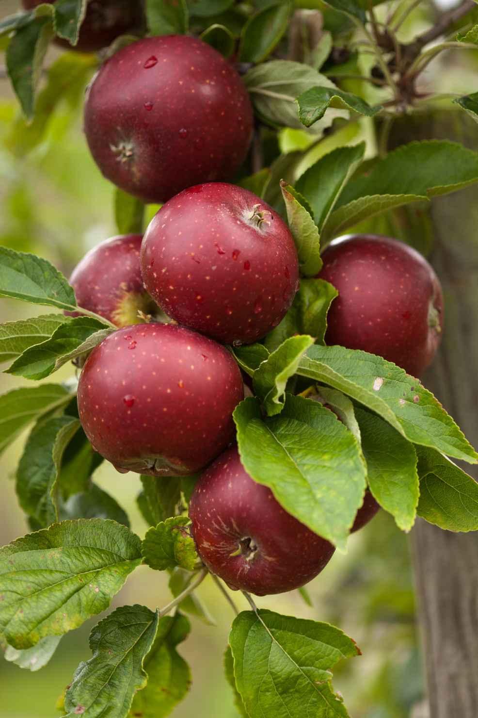 Produktbild på Äppleträd 'Karin Schneider'