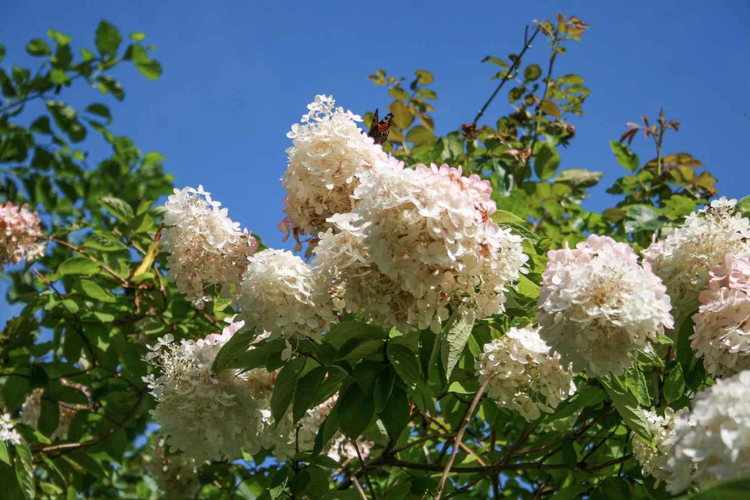 Produktbild på Syrenhortensia 'Grandiflora'