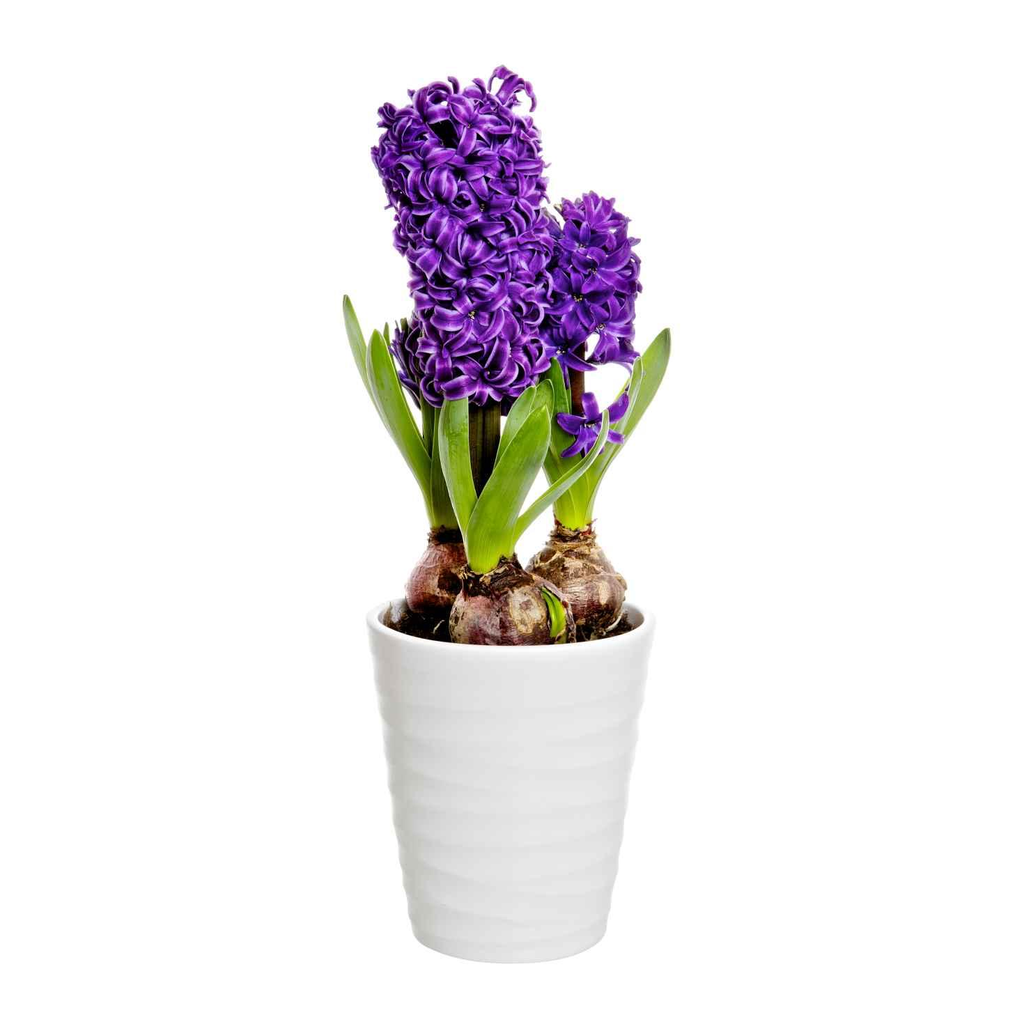 Produktbild på Hyacint 3-plant, blå