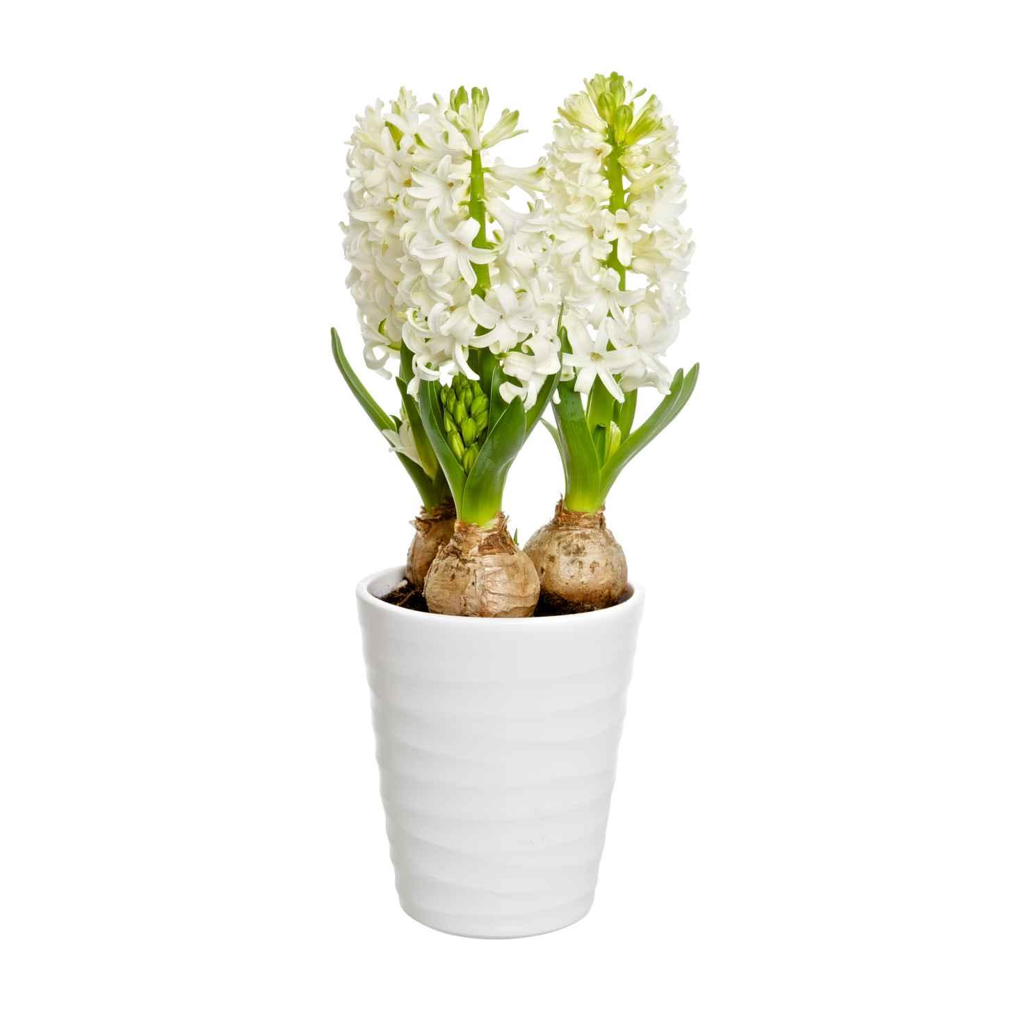 Produktbild på Hyacint 3-plant, vit