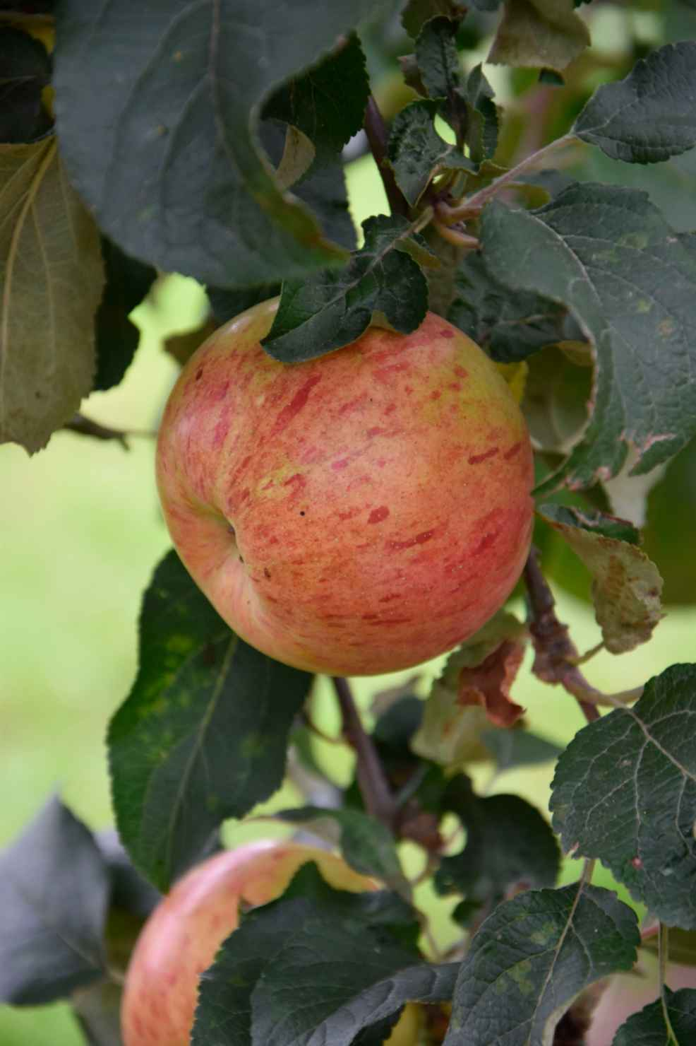 Produktbild på Äppleträd HÖSTDESSERT ('Sügisdessert')
