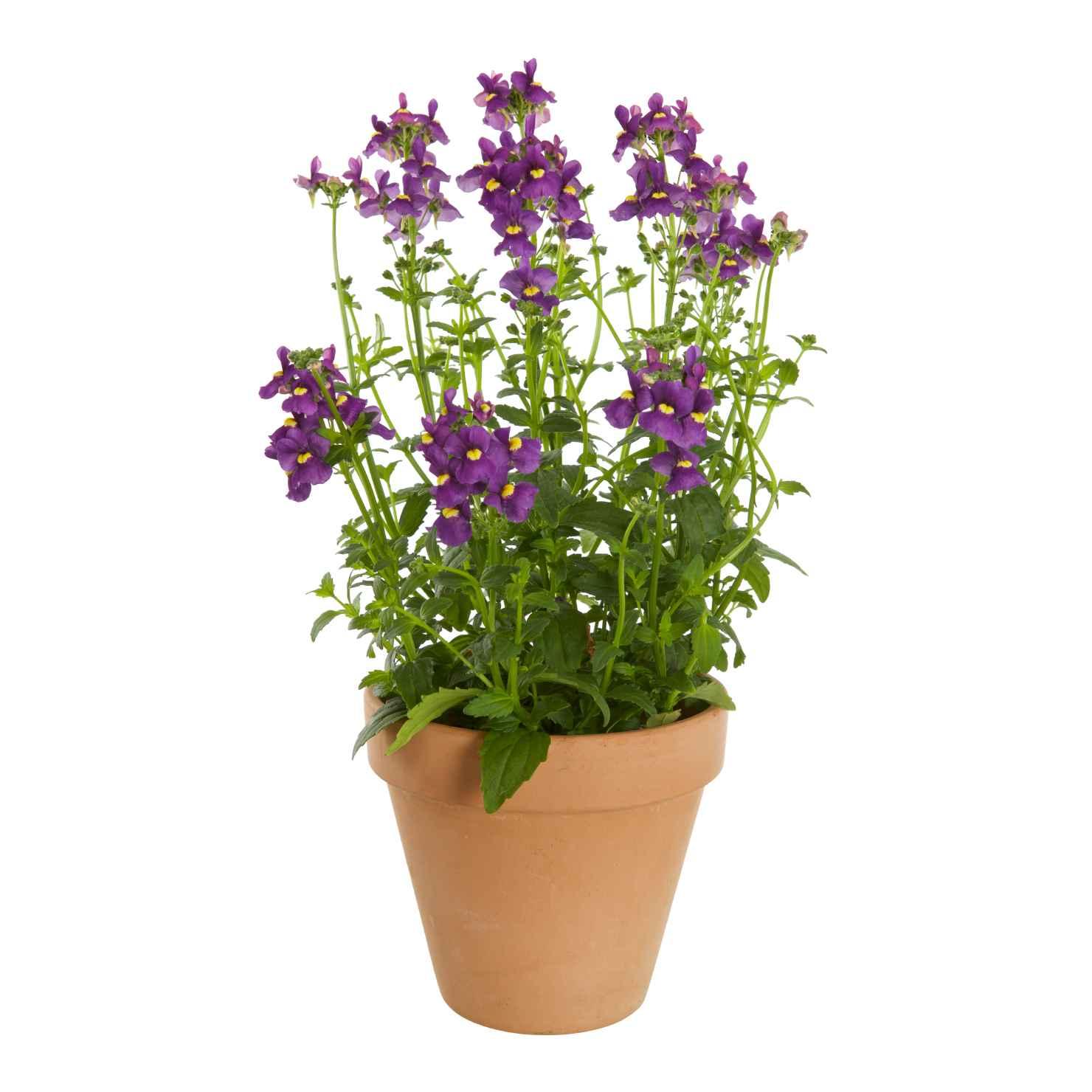 Produktbild på Nemesia, blå/lila