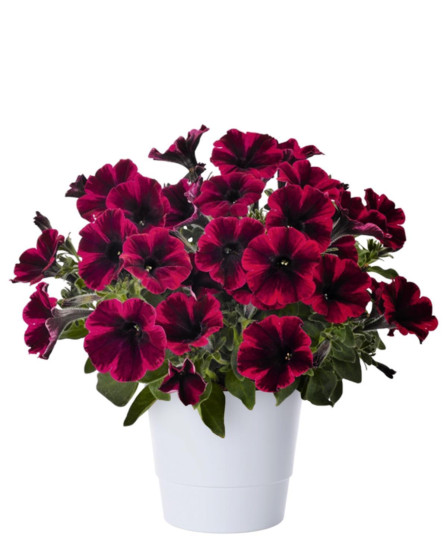 Produktbild på Petunia (Sweetunia-serien) SWEETUNIA SUZIE STORM