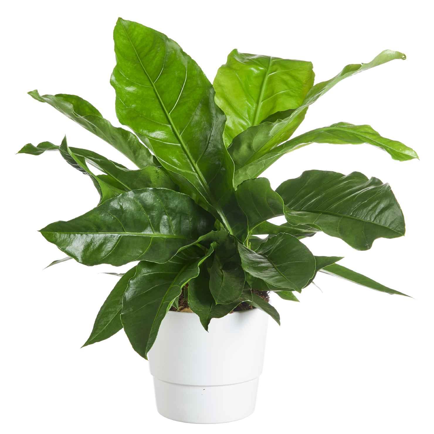 Produktbild på Anthurium 'Jungle King'