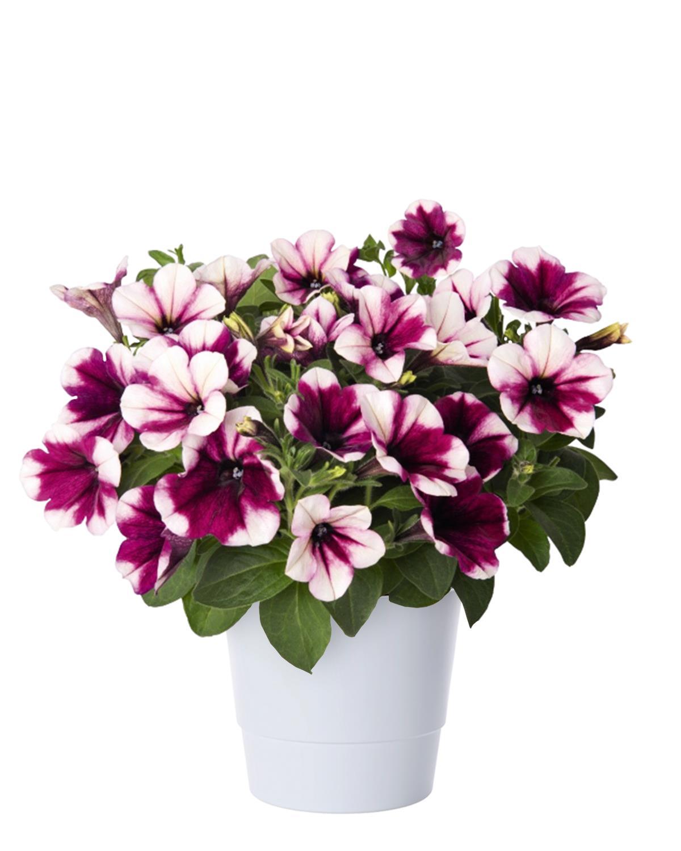 Produktbild på Petunia (Sweetunia-Serien) SWEETUNIA PURPLE TOUCH