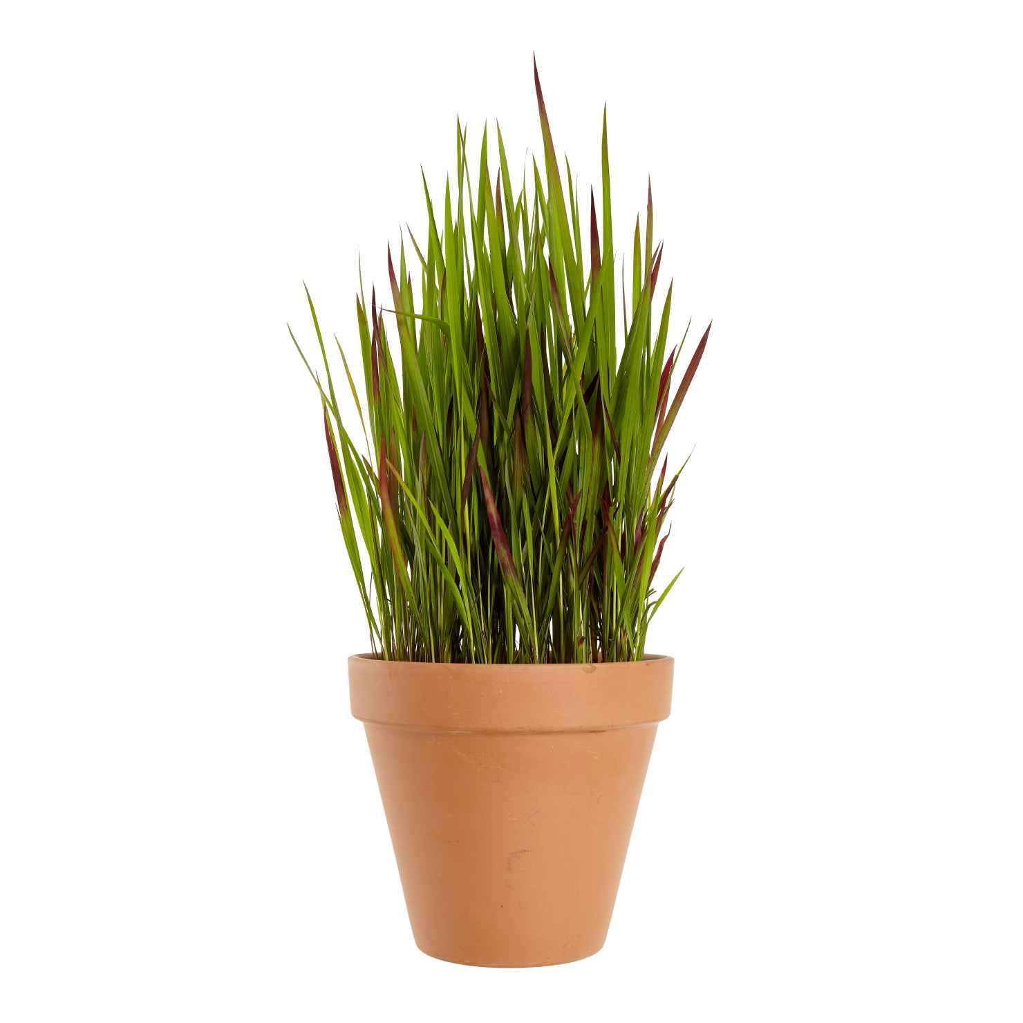 Produktbild på Blodgräs