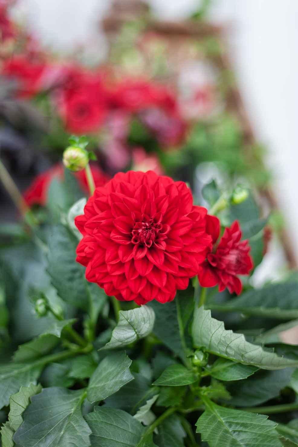 Produktbild på Dahlia, röd