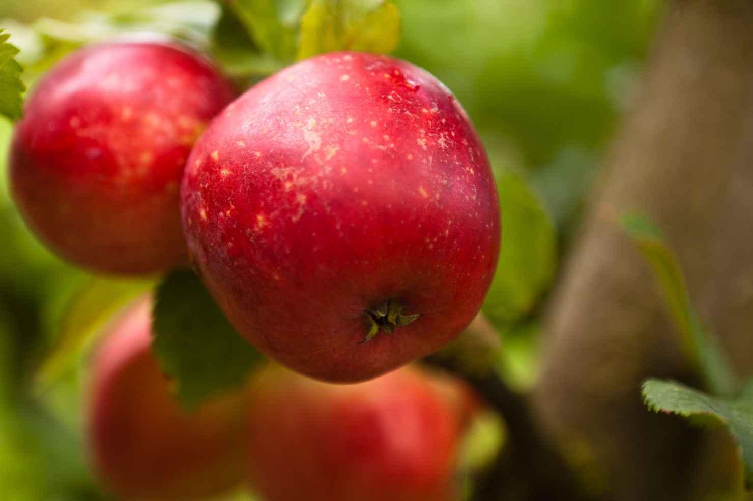 Produktbild på Äppleträd 'Alice'