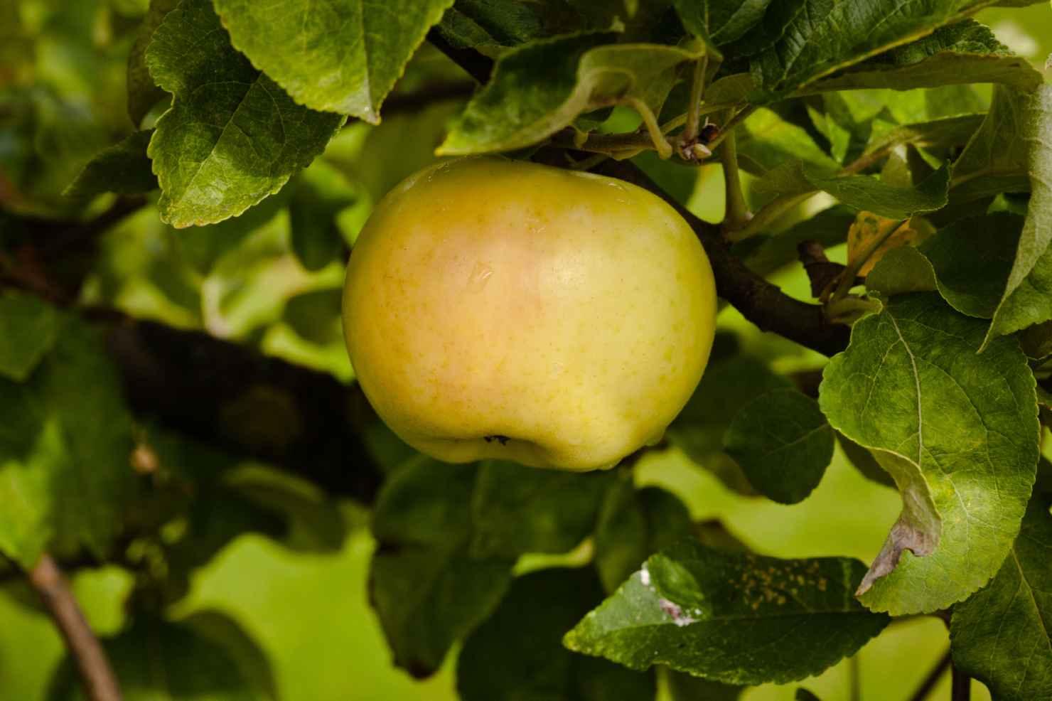 Produktbild på Äppleträd 'Oranie'