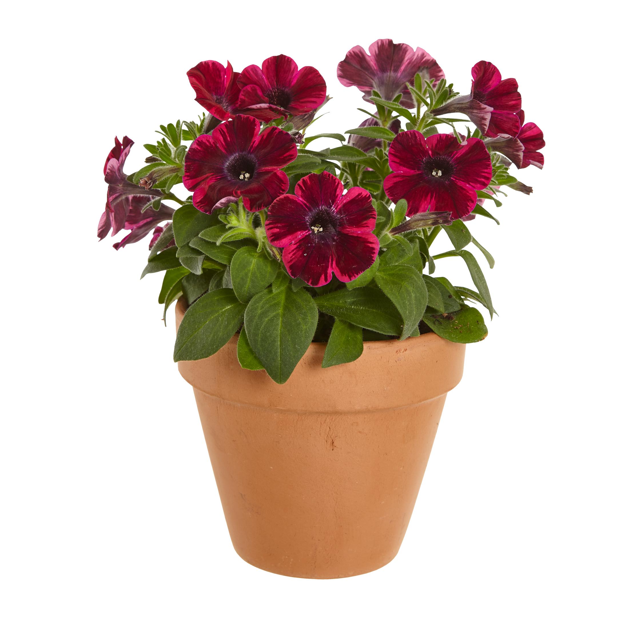 Produktbild på Petunia (Sweetunia-Serien) SWEETUNIA FIONA FLASH