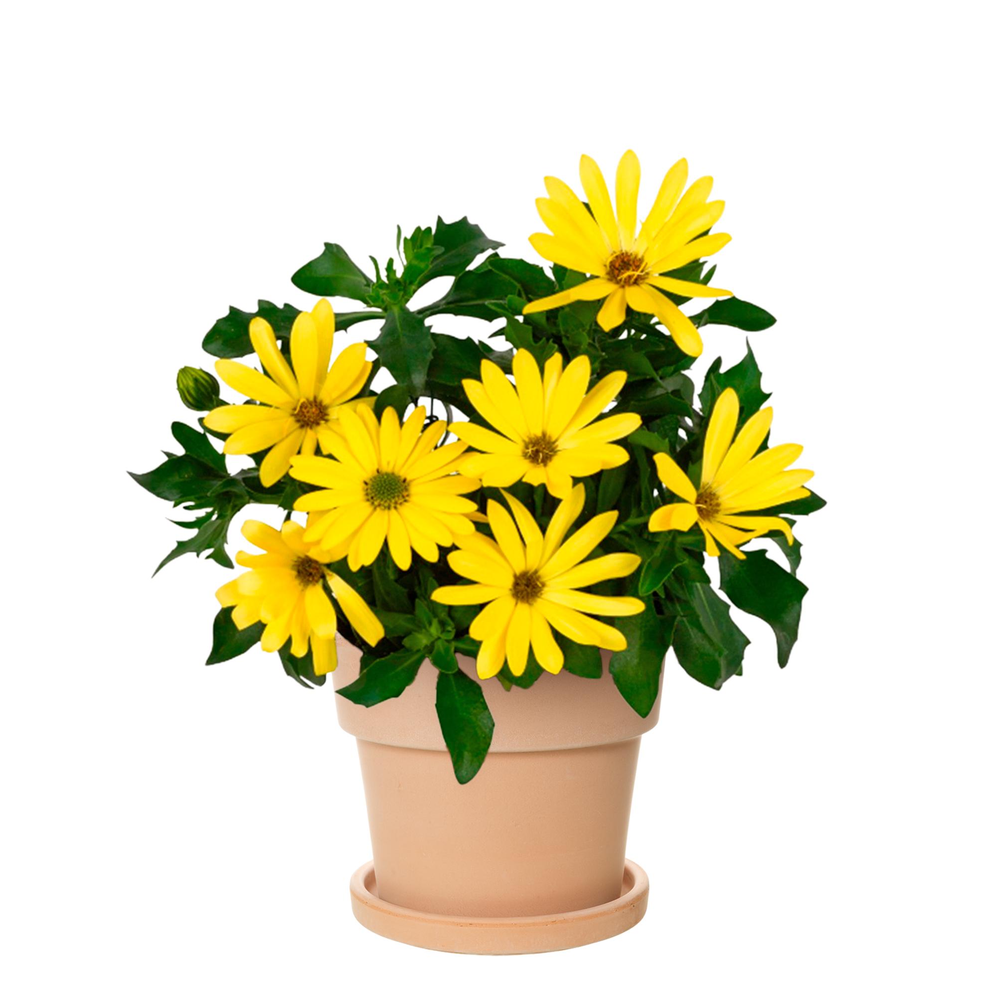 Produktbild på Stjärnöga Yellow 2021