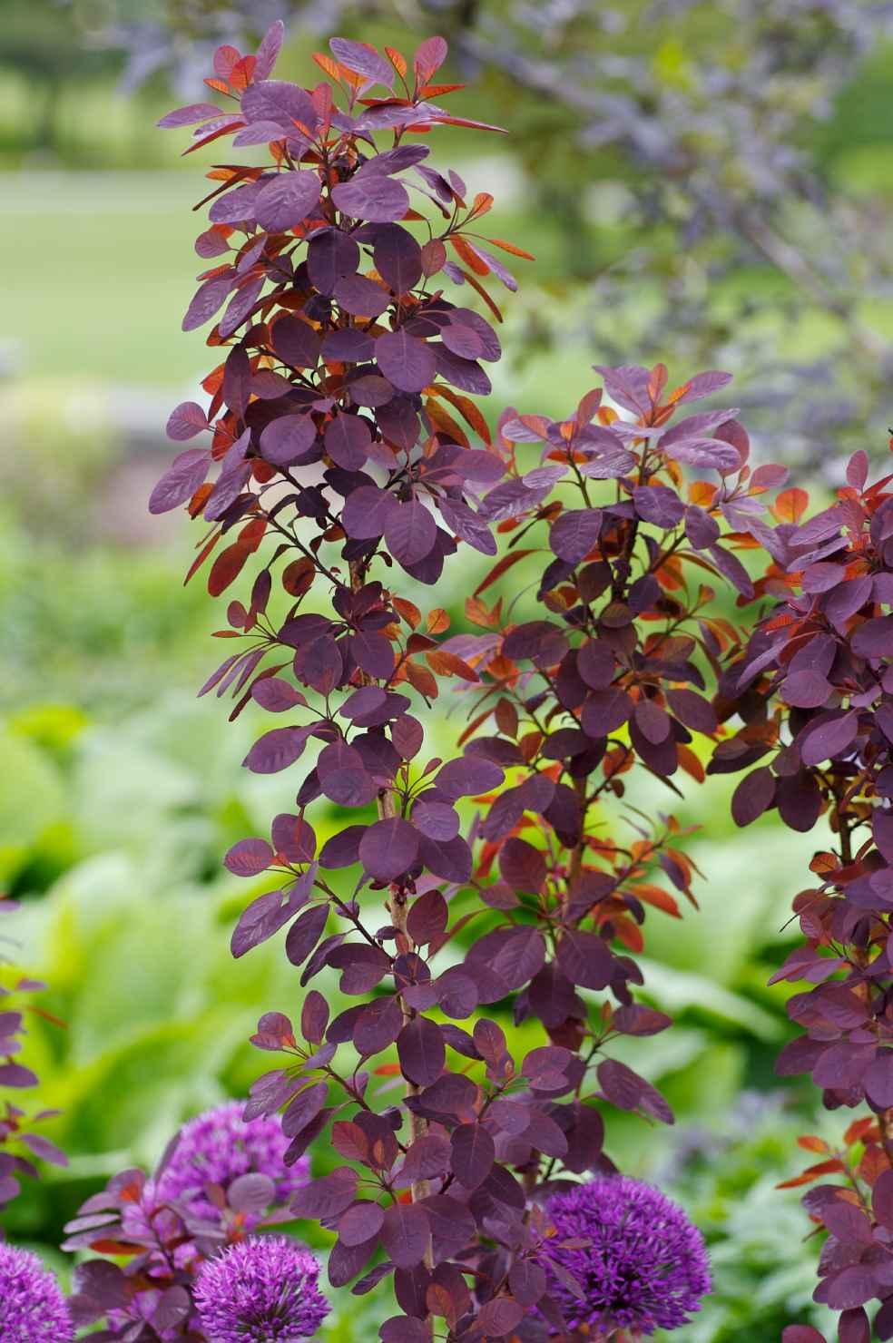 Produktbild på Rödbladig perukbuske 'Royal Purple' (Rubrifolius-Gruppen)