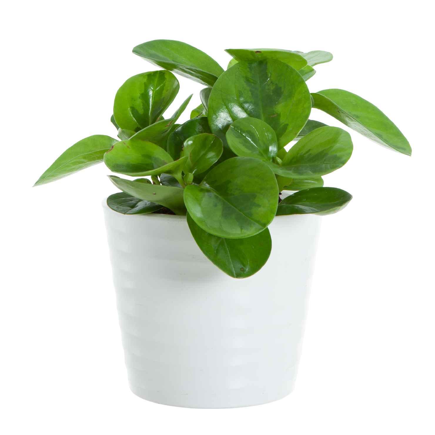 Produktbild på Fredsgrönska 'Lime'