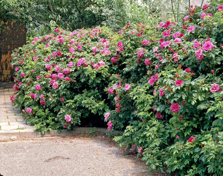 Produktbild på Rugosa-ros 'Hansa'