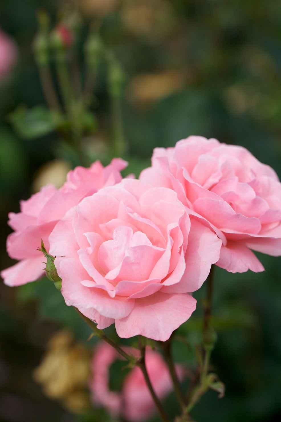 Produktbild på Grandiflora-ros 'Queen Elisabeth'